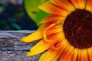 Sunflower Close Up, 2016