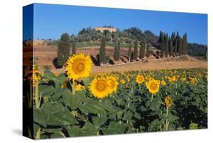 Sunflower field and cottage, San Giovanni d'Asso, Province of Siena, Tuscany, Italy