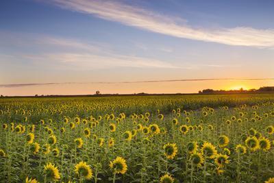 https://imgc.allpostersimages.com/img/posters/sunflower-field-in-morning-light-in-michigan-north-dakota-usa_u-L-PN6MIQ0.jpg?artPerspective=n