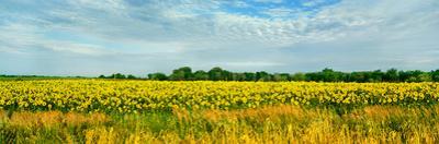 Sunflower field, Melvin, Livingston County, Illinois, USA