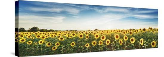 Sunflower field, Plateau Valensole, Provence, France-Frank Krahmer-Stretched Canvas Print