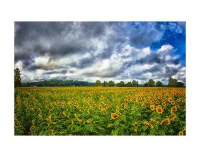 https://imgc.allpostersimages.com/img/posters/sunflower-field_u-L-F8SEBW0.jpg?p=0