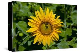Sunflower (Helianthus annuus) in Trauttmansdorff Castle, Merano, South Tyrol, Italy