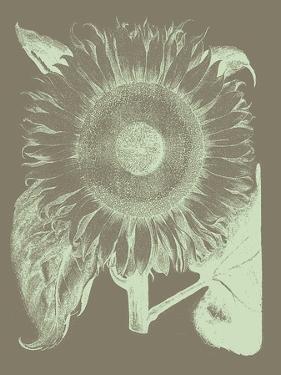 Sunflower, no. 12