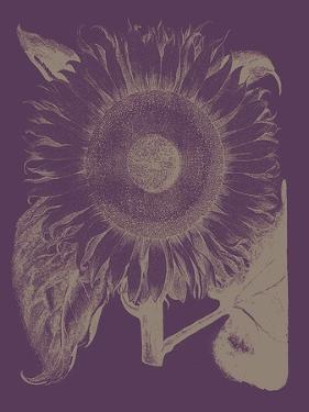 Sunflower, no. 13