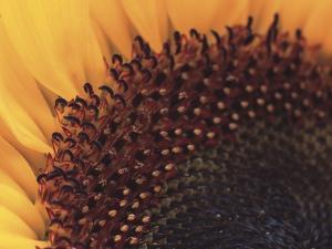 Sunflower Sepals