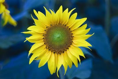 https://imgc.allpostersimages.com/img/posters/sunflower-with-deep-colors_u-L-Q1CA6YK0.jpg?artPerspective=n