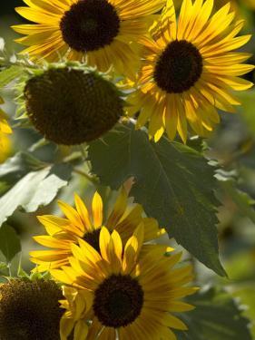 Sunflowers Bending on Their Tall Stalks