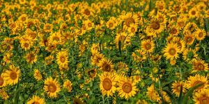 Sunflowers (Helianthus annuus) growing in a field, Cowansville, Quebec, Canada