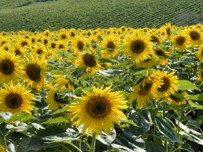 https://imgc.allpostersimages.com/img/posters/sunflowers-with-vines-in-distance-charente-france-europe_u-L-P7XBGS0.jpg?p=0