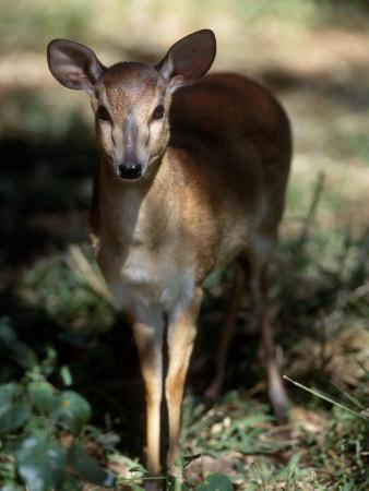 https://imgc.allpostersimages.com/img/posters/suni-antelope-de-wildt-gr-south-africa_u-L-Q10O2470.jpg?p=0