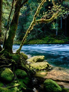 Sunlight on moss covered trees, Mackenzie River, Willamette National Forest, Linn County, Oregon...