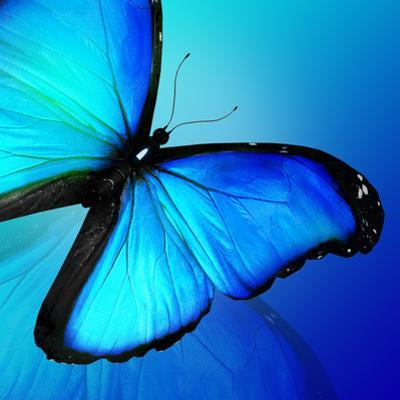 Blue Butterfly on Blue Background by suns_luck