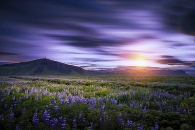 https://imgc.allpostersimages.com/img/posters/sunset-and-lupines-myrdalssandur-south-coast-iceland_u-L-PZSAU50.jpg?p=0