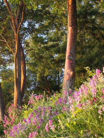 https://imgc.allpostersimages.com/img/posters/sunset-colors-on-lupines-olympic-peninsula-washington-usa_u-L-PHATT80.jpg?artPerspective=n