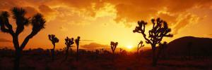 Sunset, Joshua Tree Park, California, USA