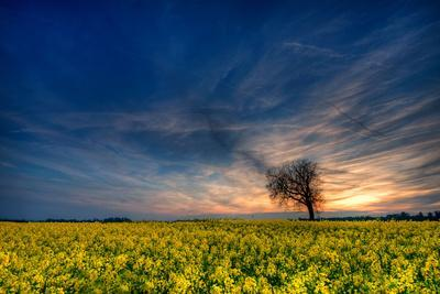 https://imgc.allpostersimages.com/img/posters/sunset-over-a-field-of-rapeseed-near-risley-in-derbyshire-england-uk_u-L-Q13FGS70.jpg?artPerspective=n