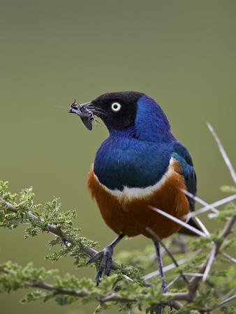 https://imgc.allpostersimages.com/img/posters/superb-starling-lamprotornis-superbus-with-an-insect_u-L-PWFCQG0.jpg?p=0
