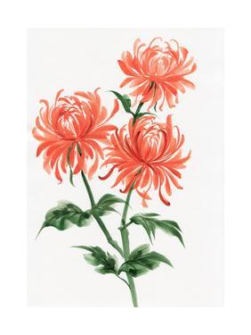 Orange Chrysanthemum by Surovtseva