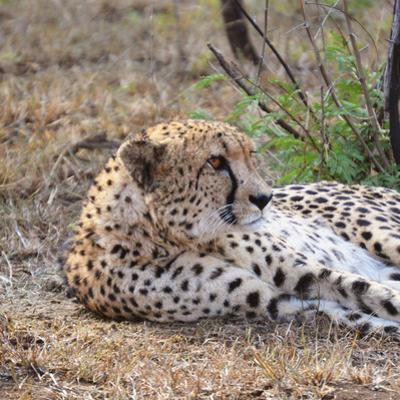 Wild cat Cheetah resting in South Africa by Susan Blopunt