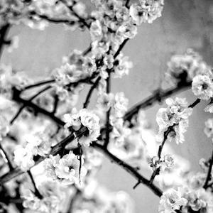 Black and White Blossoms I by Susan Bryant