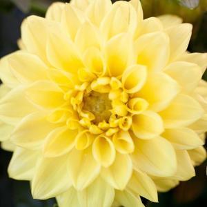 Bright Yellow Gerbera by Susan Bryant