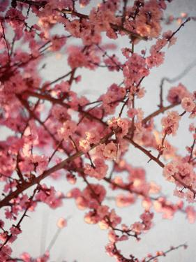 Cherry Blossoms I by Susan Bryant