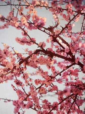 Cherry Blossoms II by Susan Bryant