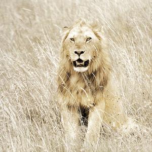 Lion in Kenya by Susan Bryant