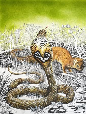 King Cobra Meets His Match, from 'Nature's Kingdom'