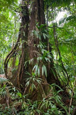 Chataignier Tree, Dominica, West Indies by Susan Degginger