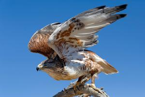 Ferruginous Hawk, Buteo Regalis by Susan Degginger