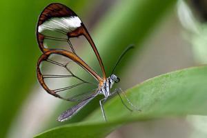 Glasswing Butterfly, Greta Oto by Susan Degginger
