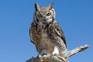 Great Horned Owl, Bubo Virginianus by Susan Degginger
