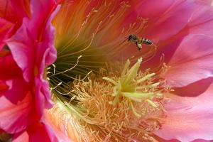 Honeybee Pollinating a Trichocereus Cactus Flower by Susan Degginger