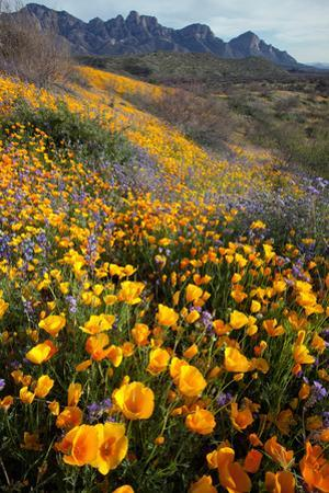 Mexican Poppies and Lupine Bloom in Catalina Sp, Tucson, Arizona