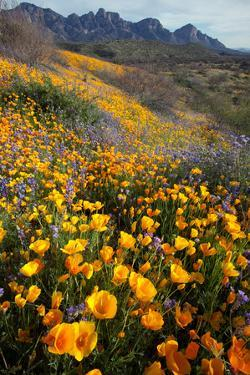 Mexican Poppies and Lupine Bloom in Catalina Sp, Tucson, Arizona by Susan Degginger