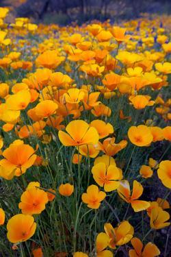 Poppies, Bloom in the Sonoran Desert, Tucson, Arizona by Susan Degginger