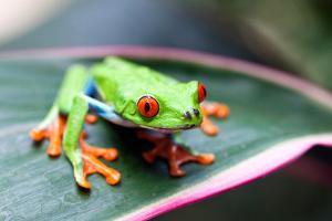 Red Eyed Tree Frog, Agalychnis Callidryas, Costa Rica by Susan Degginger