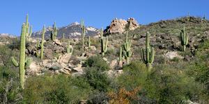 Saguaro Hillside, Catalina, Az by Susan Degginger