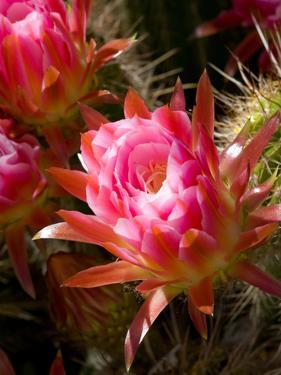 Trichocereus Flowers by Susan Degginger