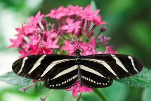Zebra Heliconia, Zebra Longwing, Heliconius Charitonius, Costa Rica by Susan Degginger