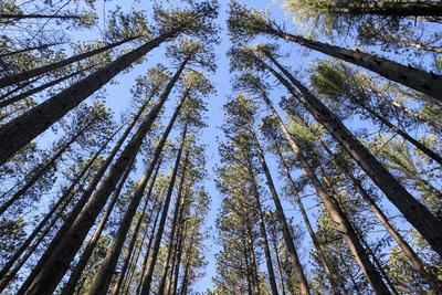 The Regularly-Spaced Trees, Red Pine Plantation, Massachusetts