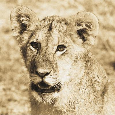 Young Lion