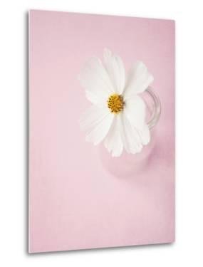 White Cosmos in Glass Vase by Susannah Tucker