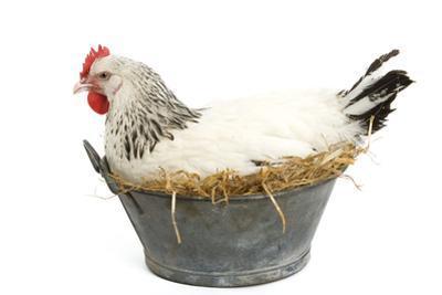 Sussex Chicken Sitting on Next in Tin Bucket