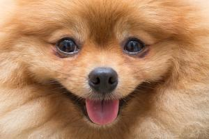 Puppy Pomeranian Dog Cute Pets in Home, Close-Up Image by Suti Stock Photo