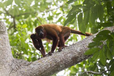 Colombian red howler monkey with baby in tree, Colombia