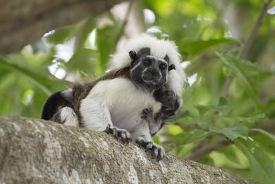 Cotton-top tamarin with two week old baby, Colombia