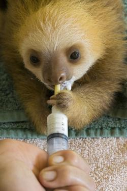 Hoffmann'S Two-Toed Sloth (Choloepus Hoffmanni) Orphaned Baby Bottle Feeding by Suzi Eszterhas
